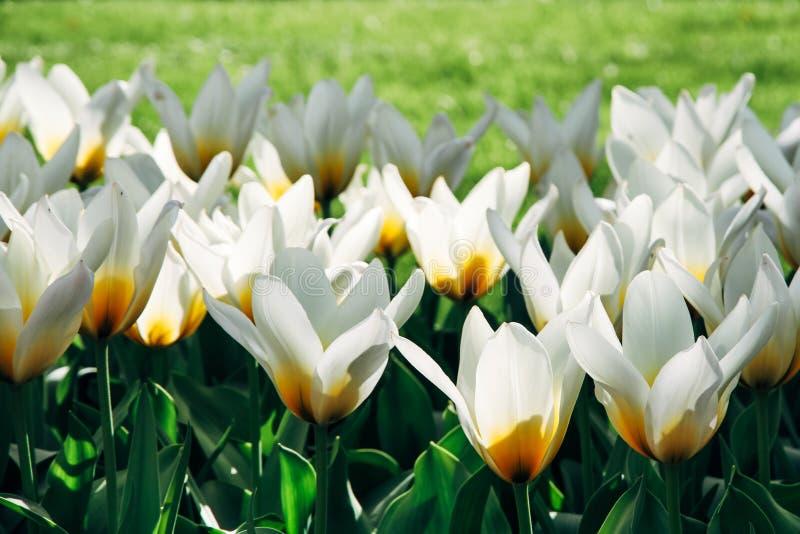 与黄色细节和绿草的白色郁金香出于焦点背景在春季期间的阿姆斯特丹 免版税库存图片