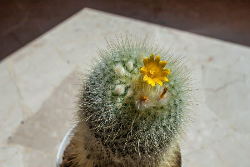 与黄色花的仙人掌 免版税库存照片