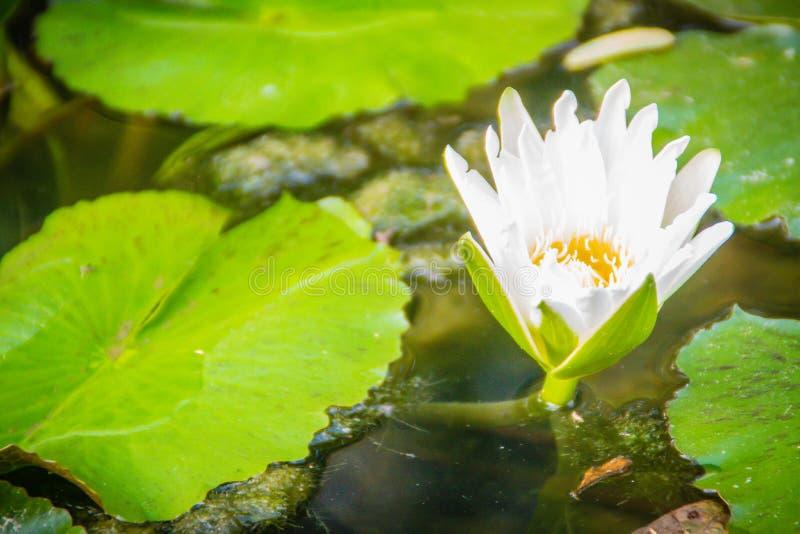 与黄色花粉的白莲教有绿色的离开背景 绽放浪端的白色泡沫百合开花与黄色花粉在池塘 免版税图库摄影