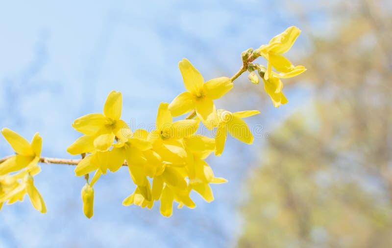 与黄色连翘属植物花的分支 库存照片