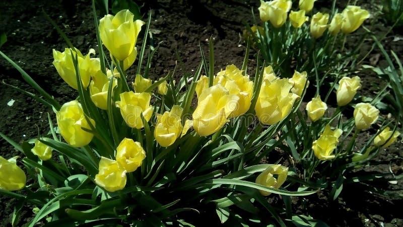 与黄色郁金香的特写镜头以绿色叶子和黑暗的地球为背景 库存照片
