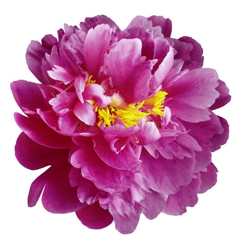 与黄色雄芯花蕊的桃红色牡丹花在与裁减路线的被隔绝的白色背景 特写镜头没有阴影 对设计 免版税库存照片