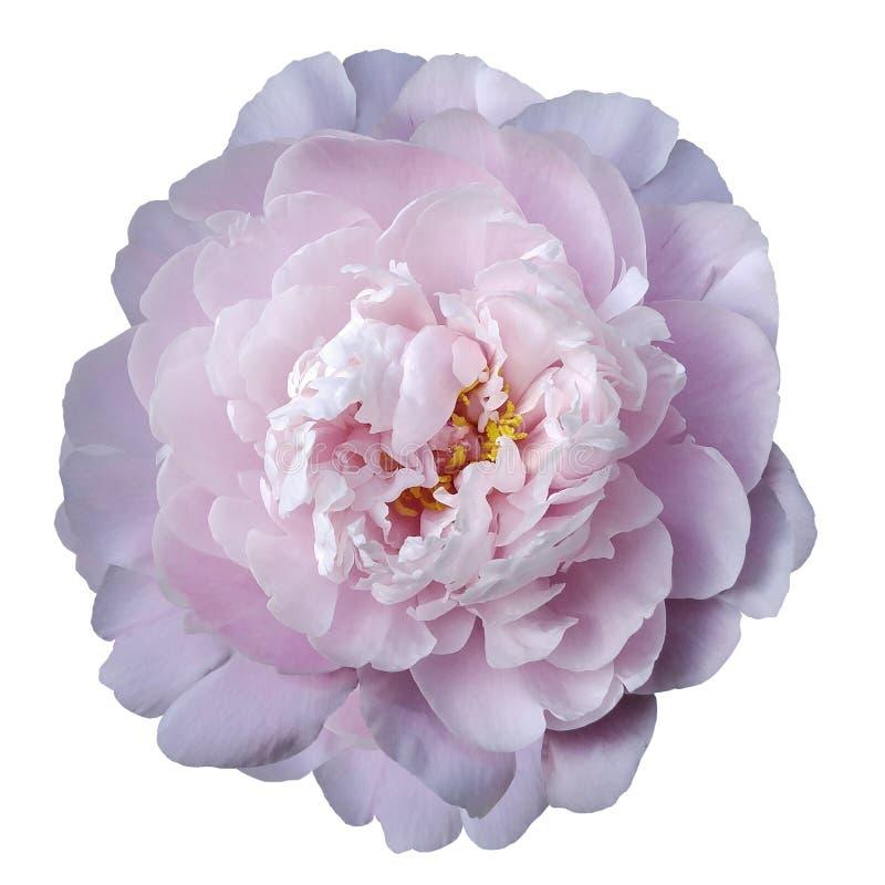 与黄色雄芯花蕊的浅粉红色的牡丹花在与裁减路线的被隔绝的白色背景 特写镜头没有阴影 对设计 库存照片