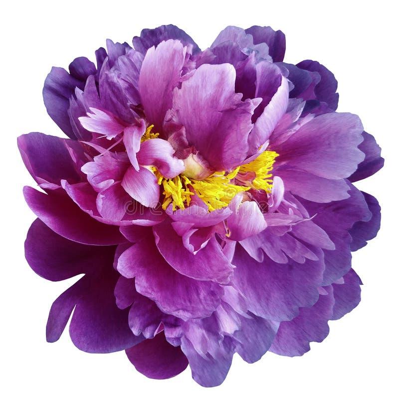 与黄色雄芯花蕊的紫色桃红色牡丹花在与裁减路线的被隔绝的白色背景 特写镜头没有阴影 对设计 库存照片