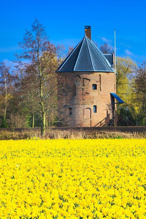 与黄色黄水仙的领域开花开花 免版税库存图片
