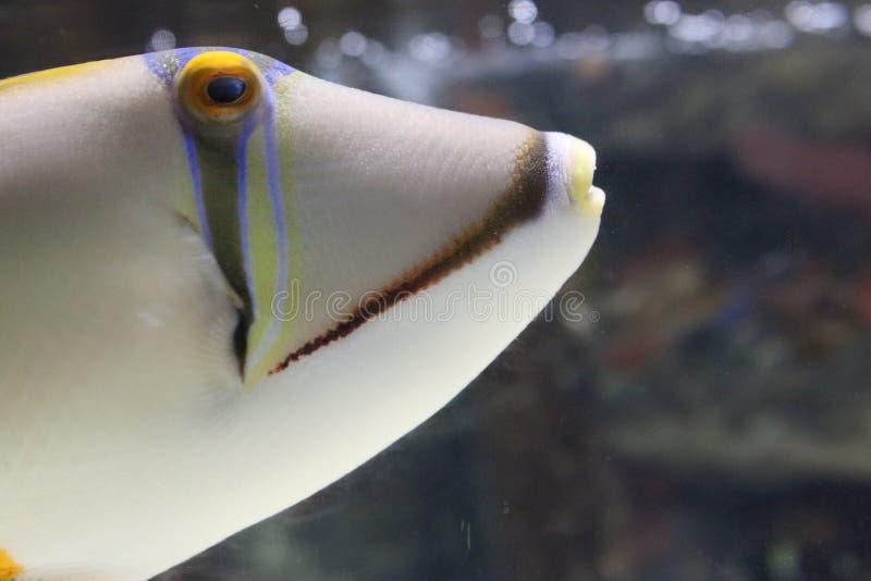 与黄色ayes的一条白色鱼 免版税库存照片