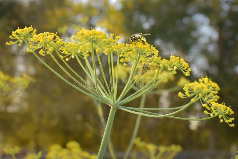 与黄蜂的莳萝 免版税库存照片