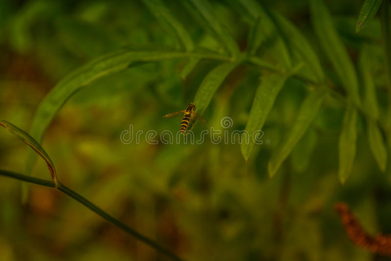 与黄蜂着色的飞行翱翔 免版税图库摄影