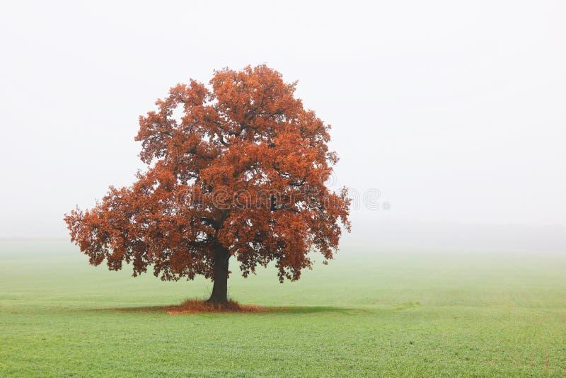 与黄褐色叶子的偏僻的橡树在领域的秋天与绿草 免版税库存照片