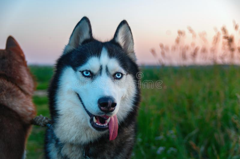 与黏附在它的嘴外面的长舌的愉快的多壳的狗 与明亮的蓝眼睛的秀丽画象西伯利亚爱斯基摩人 免版税库存图片