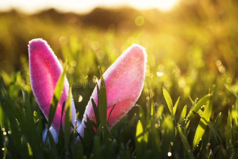 与黏附在豪华的绿草外面的一个对的滑稽的复活节场面桃红色兔宝宝耳朵透湿在晴朗的温暖的春天太阳 库存照片