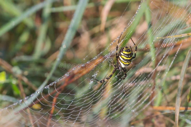 与黑和黄色的美丽的蜘蛛在早晨光的一spiderweb与露滴 库存图片