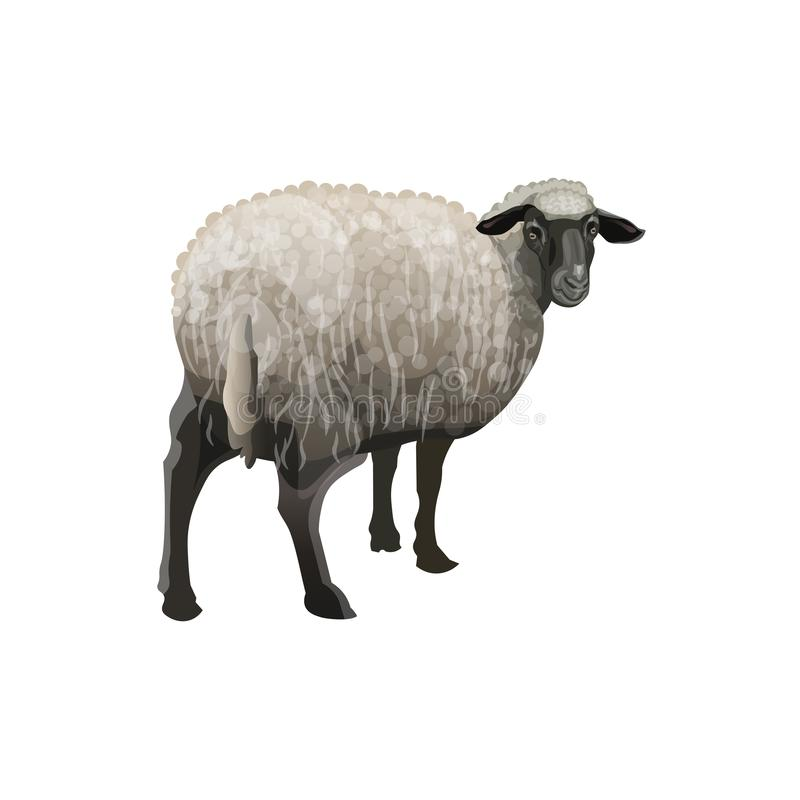 与黑头的绵羊 库存例证