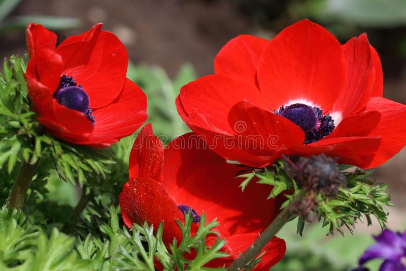 与黑心脏的红色银莲花属花 库存图片