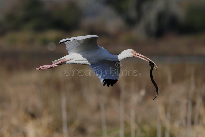 与黑沼泽蛇,佛罗里达的白色朱鹭 库存照片