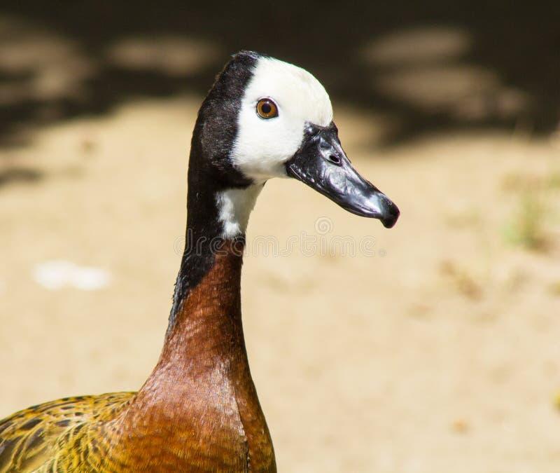 与黑白头和棕色眼睛的美妙地色的褐色和胸口鸭子 鸭子