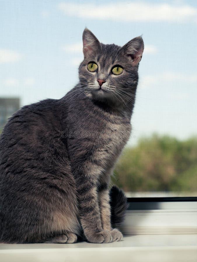 与黑白条纹的一只美丽的灰色绿眼的猫坐窗台和神色入照相机 反对天空, 库存图片