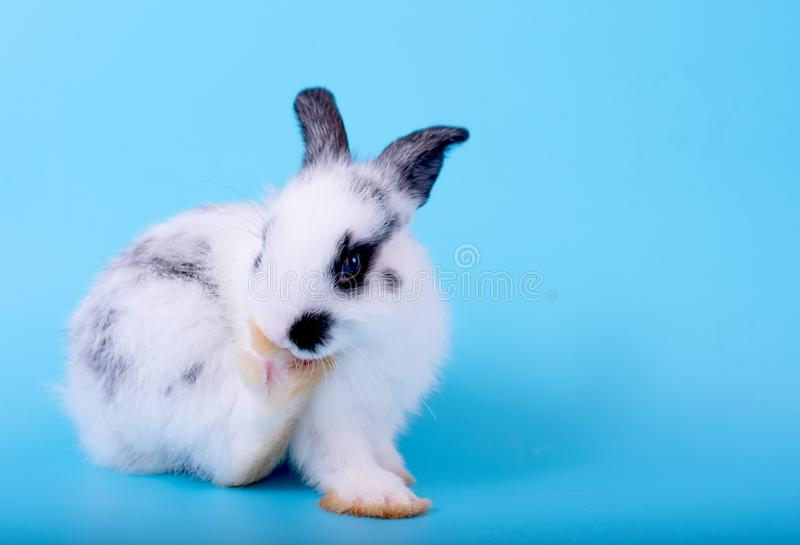 与黑白样式的小逗人喜爱的可爱和蓬松小兔清洗它的脚和停留在蓝色背景 免版税图库摄影