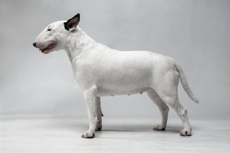 与黑耳朵立场的白色杂种犬 免版税库存照片
