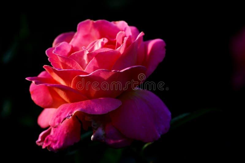 与黑背景宏观瓣自然细节的桃红色黑暗的玫瑰色花 免版税库存图片