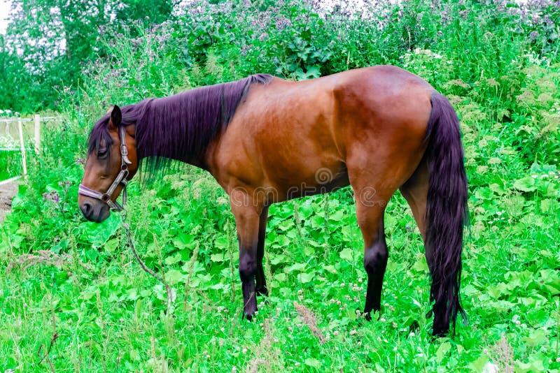 与黑色和紫色鬃毛的美丽的栗子马在一个绿色牧场地吃草 免版税库存图片