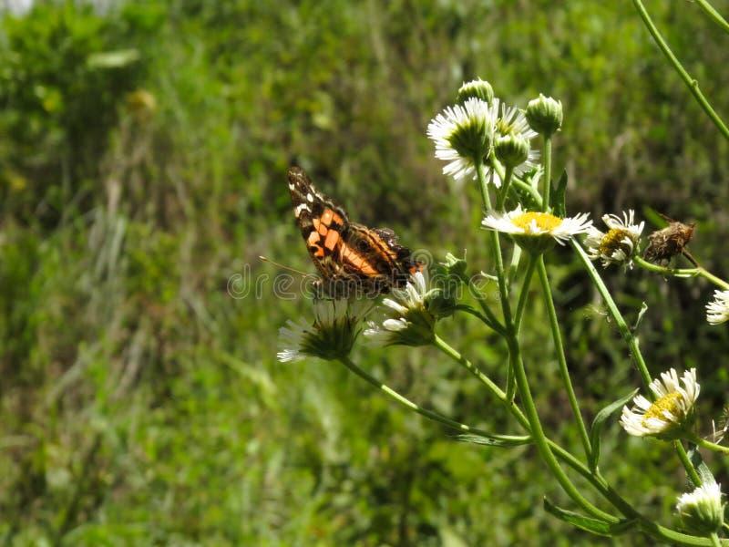 与黑色的橙色蝴蝶在花顶部 免版税库存图片