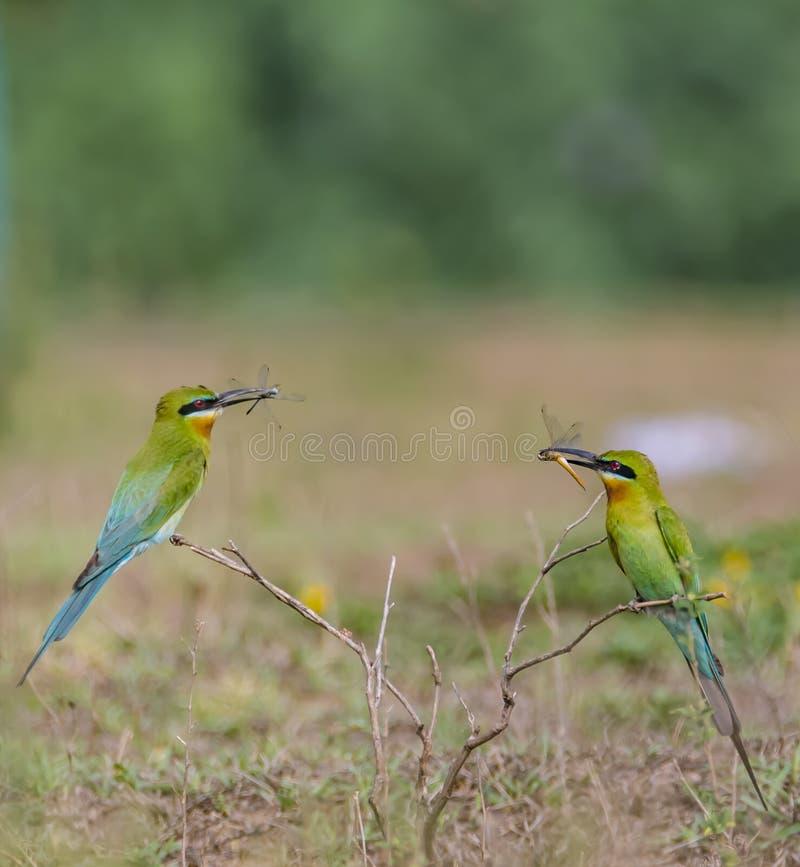 与龙飞行的蓝色被盯梢的食蜂鸟 图库摄影