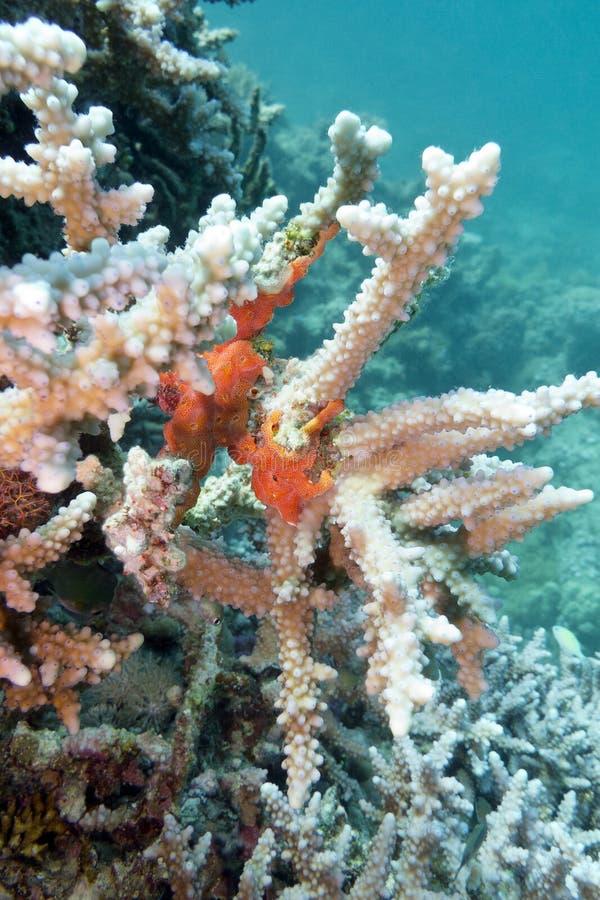 与水下海的海绵的珊瑚礁- 免版税库存图片