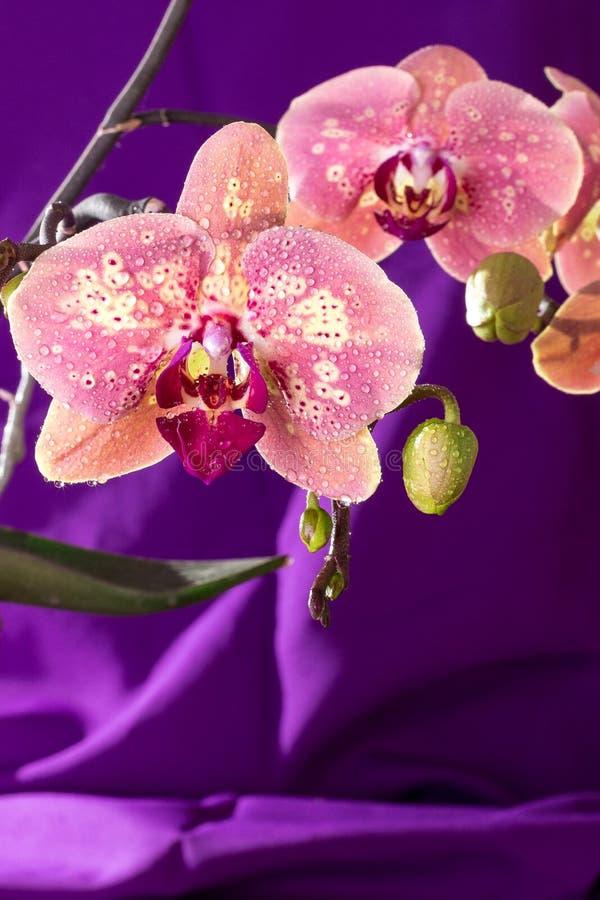 与水下落的桃红色兰花宏指令 在紫色背景的兰花植物分支 关闭 春天 免版税库存图片