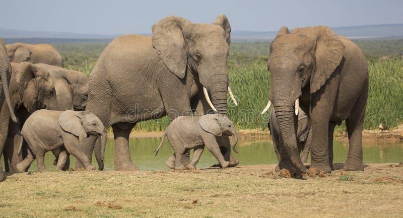 与2个微小的婴孩的大象牧群 库存照片