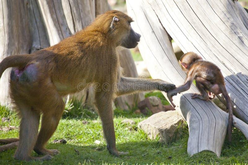 与年轻人的几内亚狒狒 库存图片
