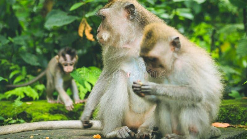 与年轻人的长尾的短尾猿一个在草料 猕猴属fascicularis,在神圣的猴子森林里, Ubud,印度尼西亚 免版税图库摄影