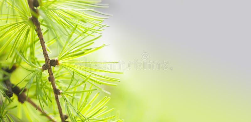 与绿叶针特写镜头的杉树分支 林木宏指令视图 软绵绵地集中 春天季节概念 复制 库存图片