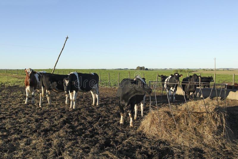 Download 与黑和棕色污点的母牛在美国g 库存照片. 图片 包括有 牧群, browne, 亚马逊, 皮革, 母牛, 空白 - 30337040