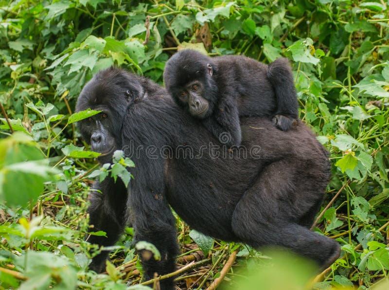 与婴孩的母山地大猩猩 乌干达 Bwindi难贯穿的森林国家公园 免版税图库摄影
