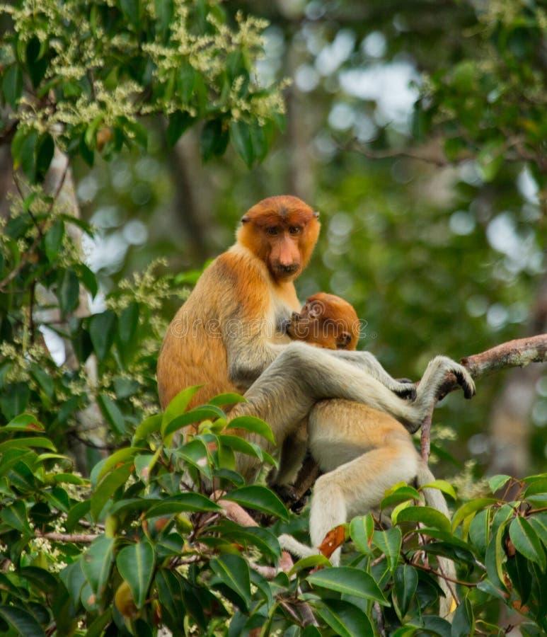 与婴孩的母长鼻猴坐一棵树在密林 印度尼西亚 婆罗洲加里曼丹的海岛 库存图片