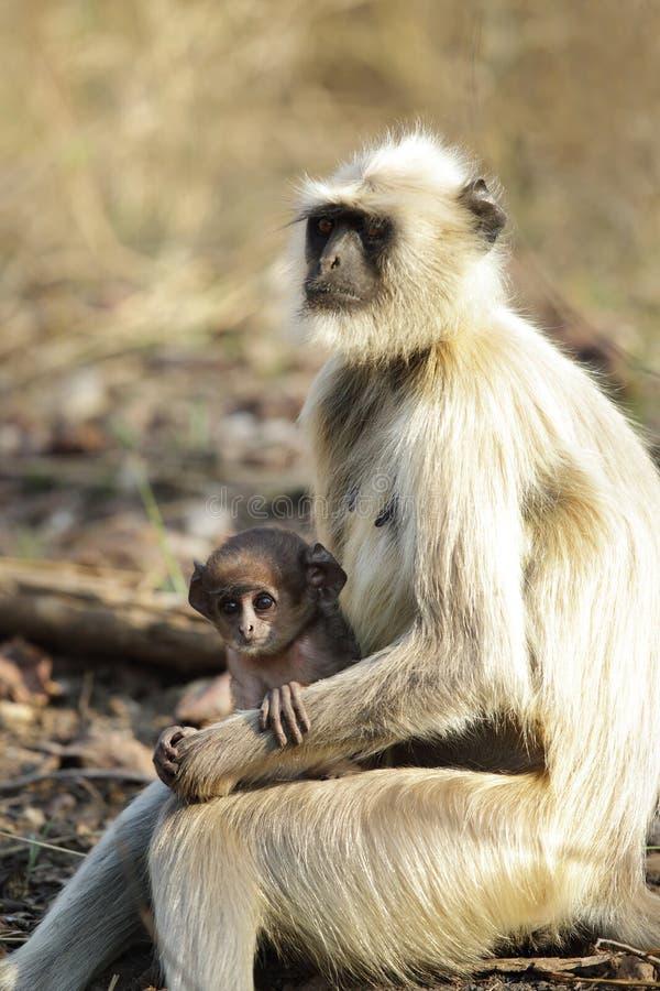 与婴孩的灰色叶猴 库存图片