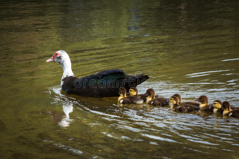 与婴孩的Muscovie母鸭子 免版税库存图片