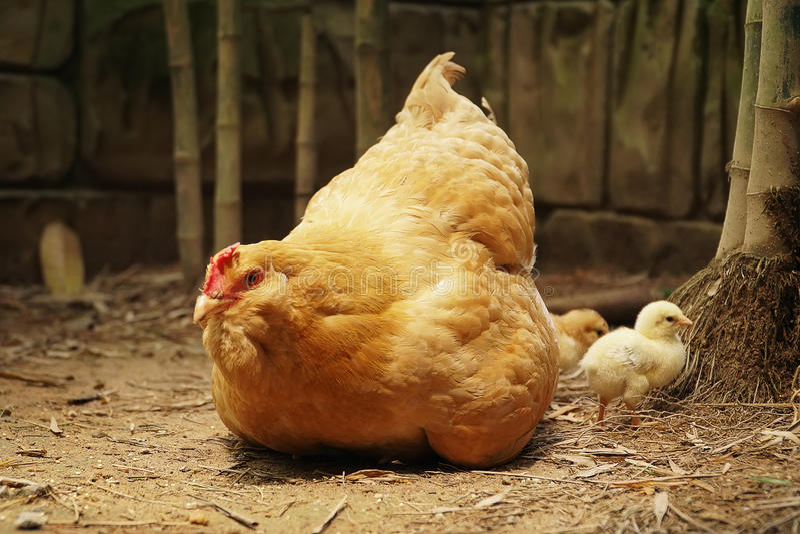 与年轻小鸡的有机母鸡 库存图片