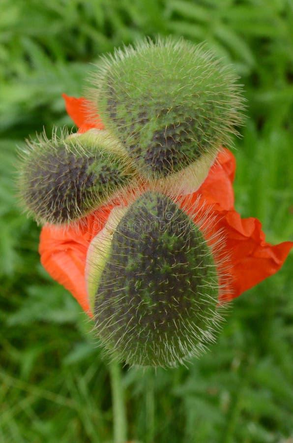 与3尖刻的外面芽的红色鸦片花编结 图库摄影