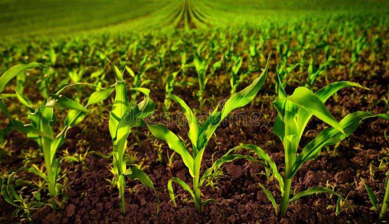 与年幼植物和黑暗的沃土的麦地 免版税图库摄影