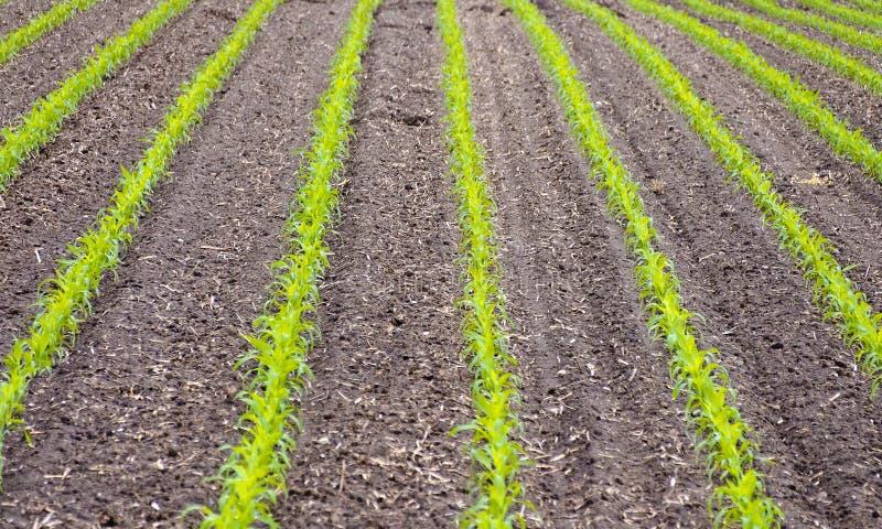 与年幼植物的麦地 库存图片