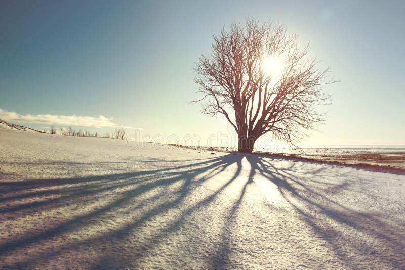 与阴影和太阳,葡萄酒过滤器,冰岛的美丽的冬天树 免版税图库摄影