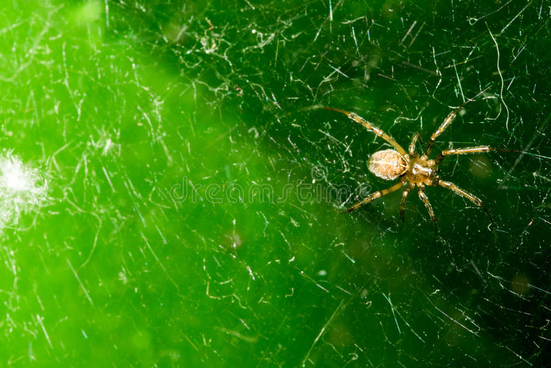 与黑暗的腹部的一只小蜘蛛,坐它的网 在深绿背景 宏指令 免版税库存图片