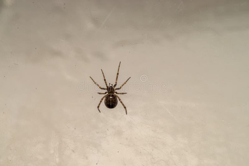 与黑暗的腹部的一只小蜘蛛,坐它的网 免版税图库摄影