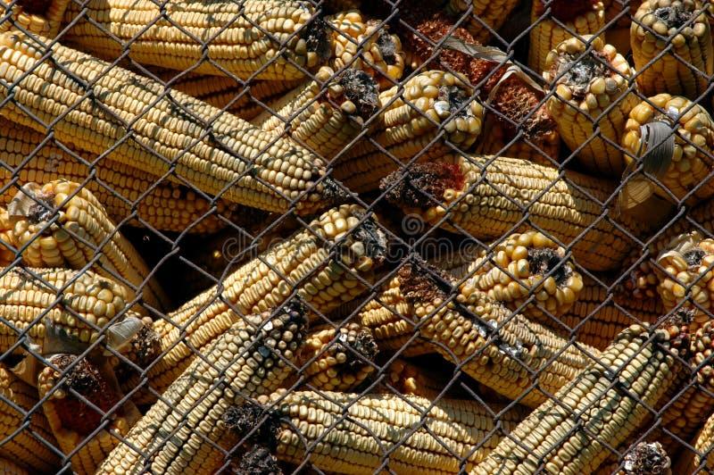 与黄曲霉毒素的发霉的玉米 免版税库存照片