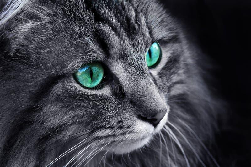 与绿松石眼睛的挪威森林猫 库存图片