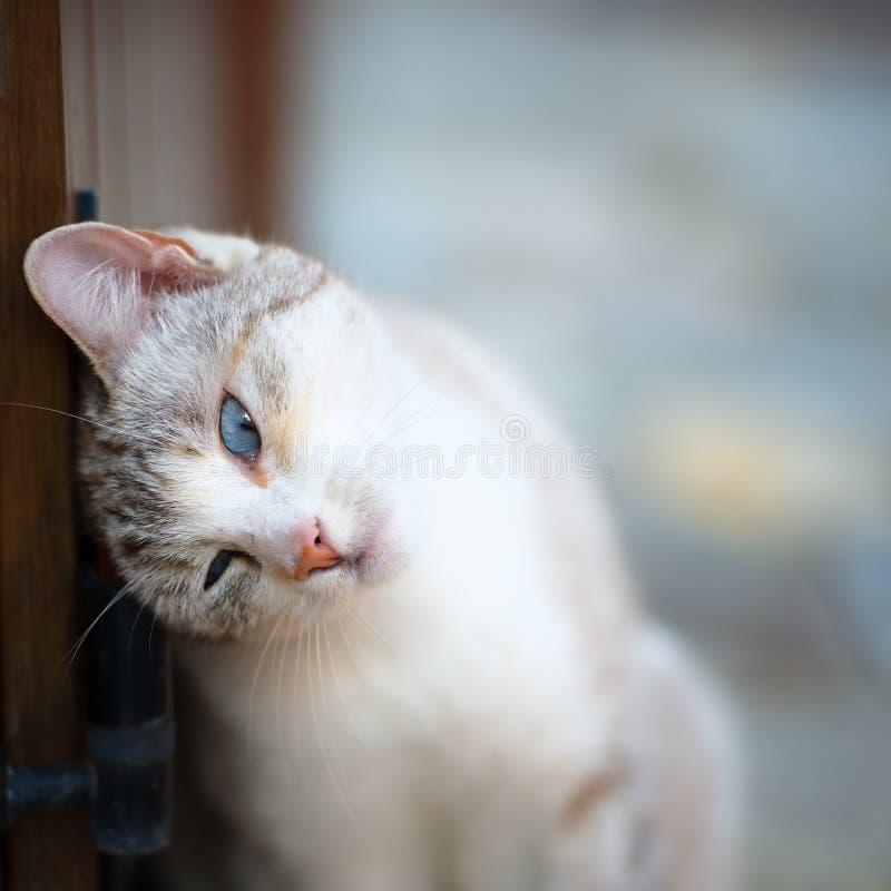 与绿松石眼睛的猫 免版税库存照片