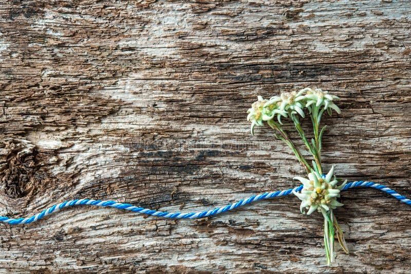 与巴法力亚礼物绳子的Edelweiss花 库存照片