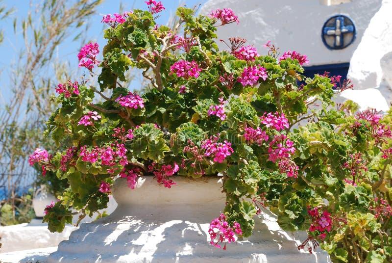与5片叶子的大桃红色花在一个罐增长在庭院里在烧焦的太阳和天空蔚蓝下 免版税库存图片